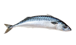 Single fresh mackerel fish.  Isolated over white background